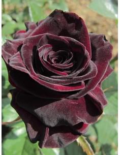 BLACK BACCARA róże...