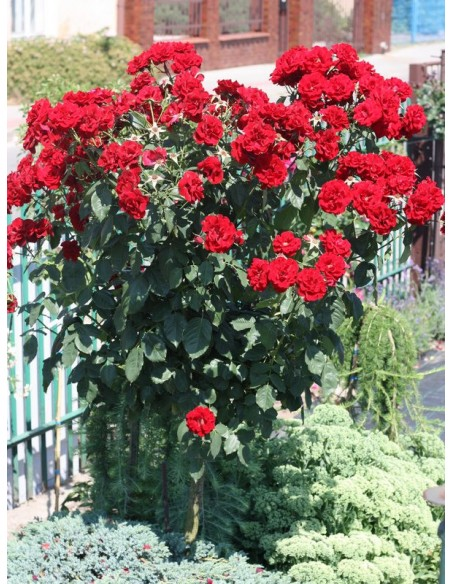 czerwone roze pienne andersen