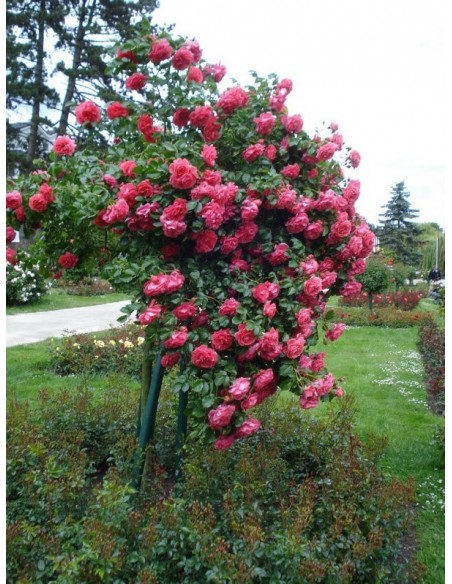 róża rosarium wysokopienna różowa