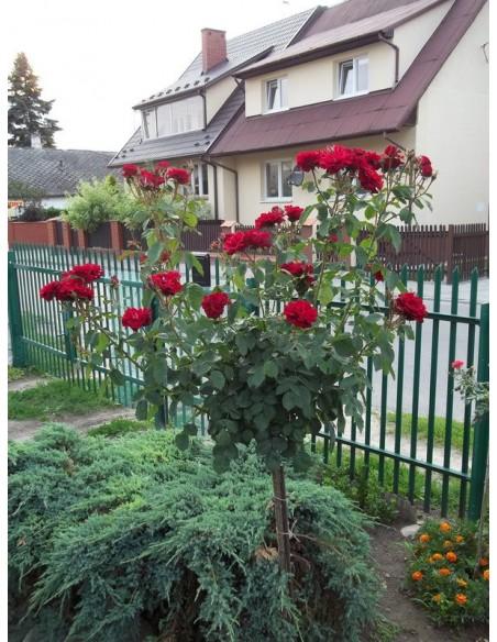 czerwone róże andersen