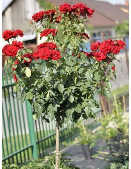 czerwone róże pienne andersen