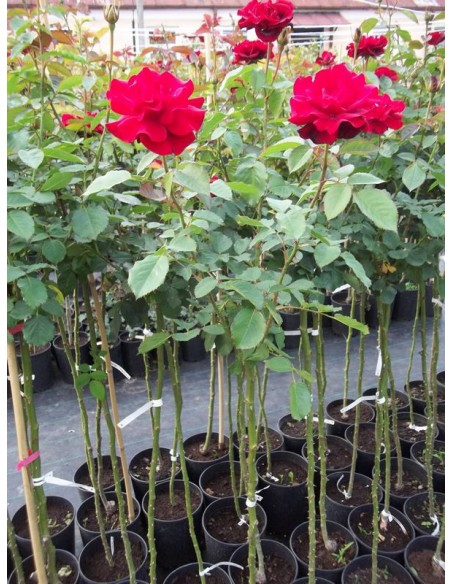 roze czerwone pienne andersen