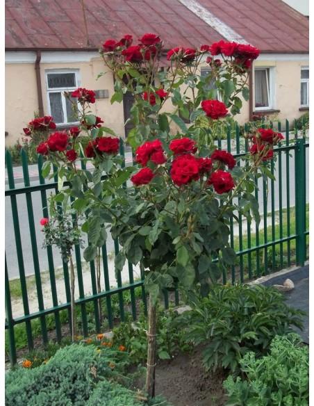 pienne roze czerwone andersen