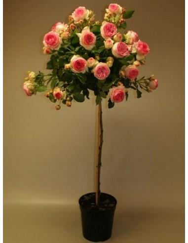 pienna rajska róza