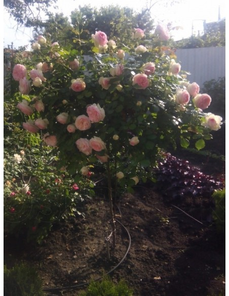 róża pienna eden rose
