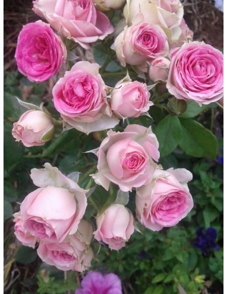 róża na pniu eden rose