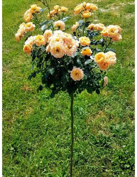 sweet dream róze pienne