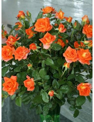 pomarańczowe róże wielkokwiatowe Tanakinom