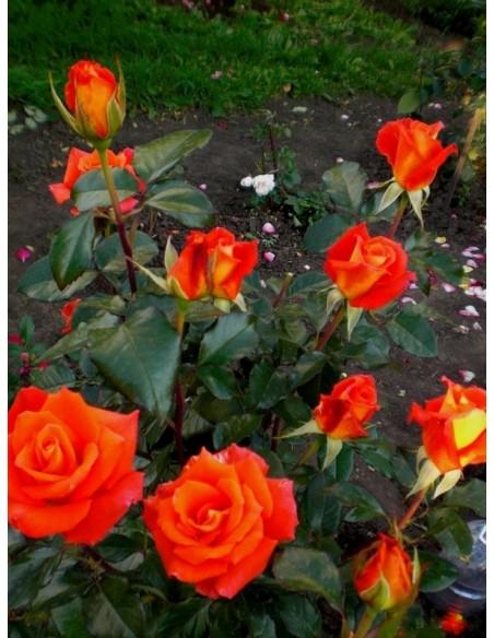 róże wielkokwiatowe pomarańczowe Monika