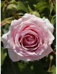 FREDERIC MISTRAL róże...