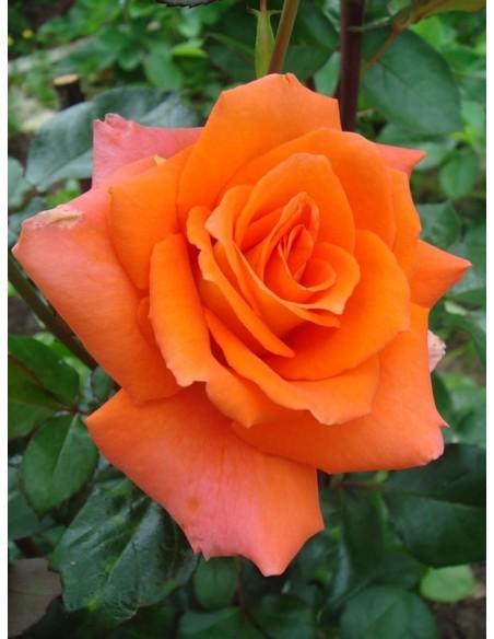 pomarańczowe rówe wielkokwiatowe Monika