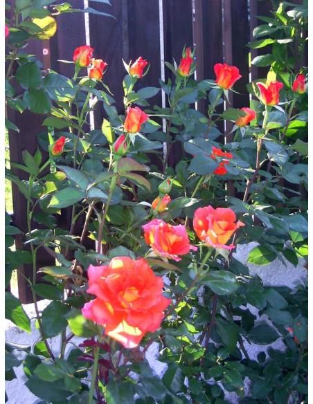 wielkokwiatowe róże Tanakinom