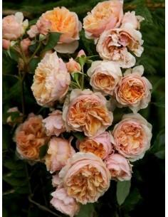 VERSIGNY odporne róże...
