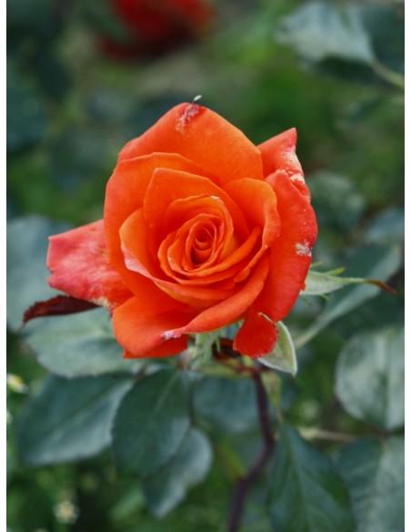 róże wielkokwiatowe Tanakinom