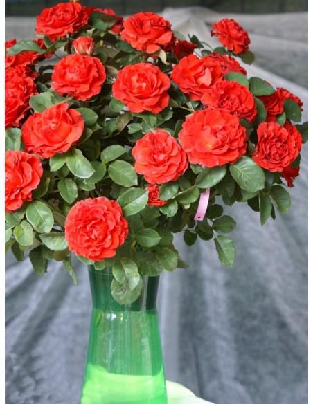 El Toro czerwone wielkokwiatowe róże
