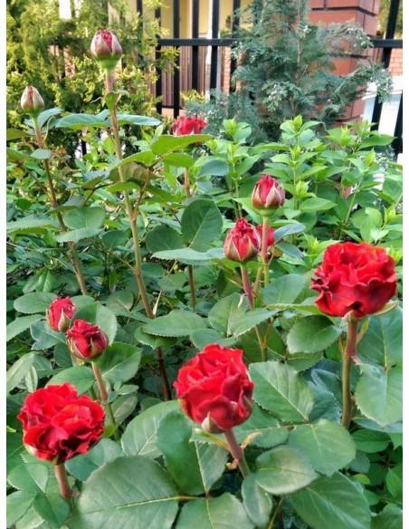 El Toro róże czerwone wielkokwiatowe