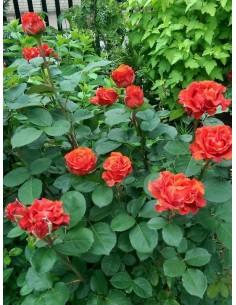 czerwone róże wielkokwiatowe El Toro