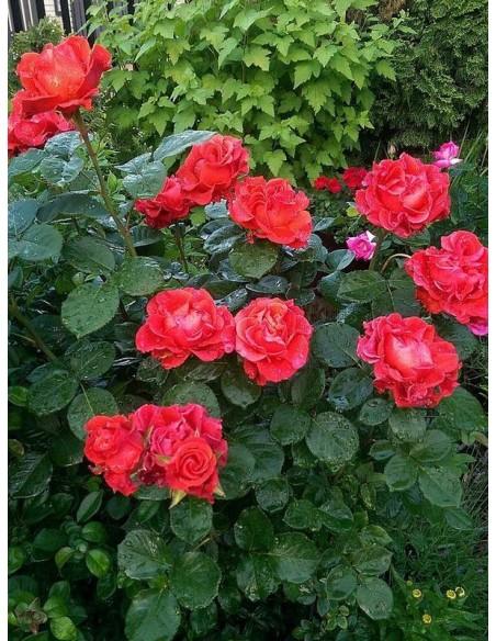 róże czerwone wielkokwiatowe El Toro