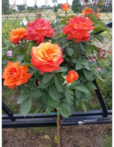 super trouper pienne róże