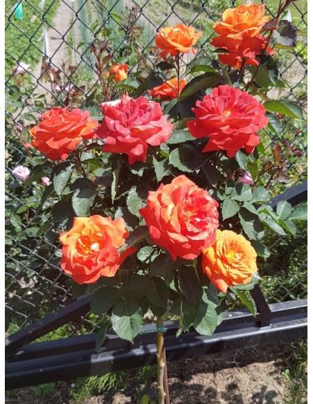 róże pienne super trouper