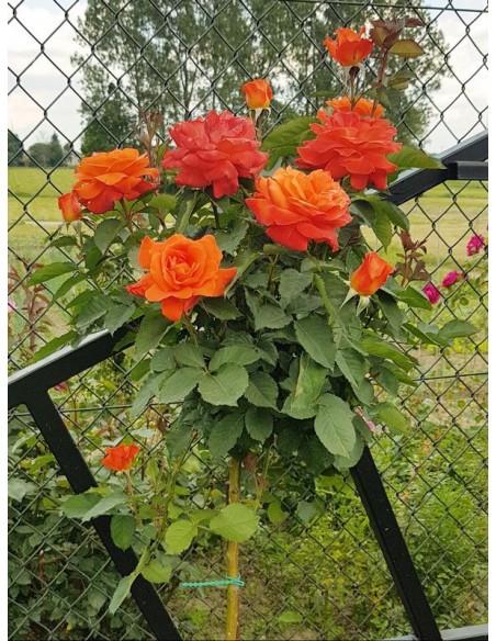super trouper róże pienne