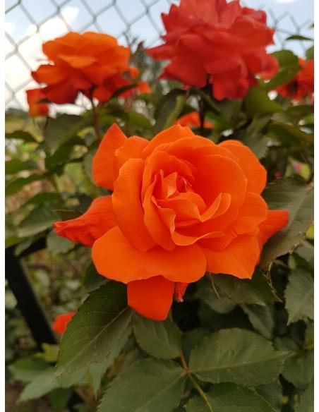 pienne róże super trouper