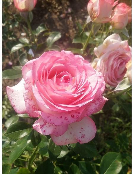 Isabelle Aubret francuskie róże wielkokwiatowe