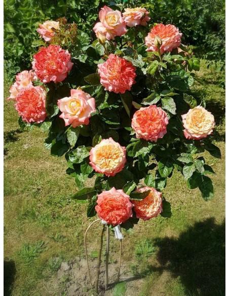 Samaritan róze pienne