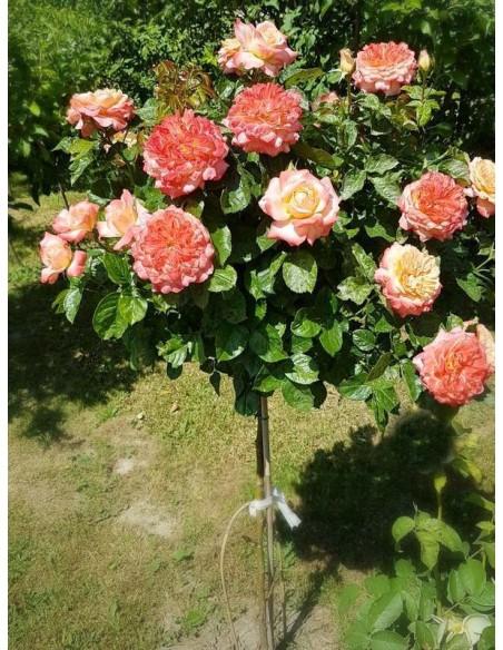 Samaritan róże pienne