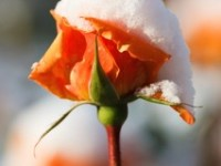 3 sposoby zabezpieczenia róż piennych na okres zimowy