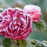 Dlaczego przemarzają róże