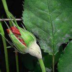 Choroby róż a zabiegi profilaktyczne
