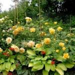 Róże z towarzystwem