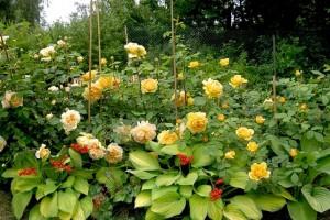 róże z towarzystwem hosta
