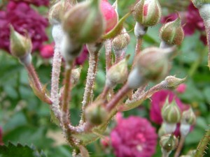 róże choroby maczniak prawdziwy