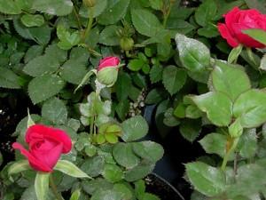 róże choroby maczniak prawdziwy2