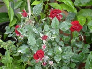 róże choroby maczniak prawdziwy1