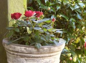 róze doniczkowe