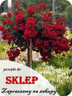 Szkółka Róż Rozaria