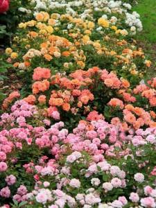 róże rabatowe ciepłe