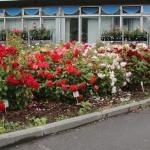 Trochę o kolorystyce rabat różanych