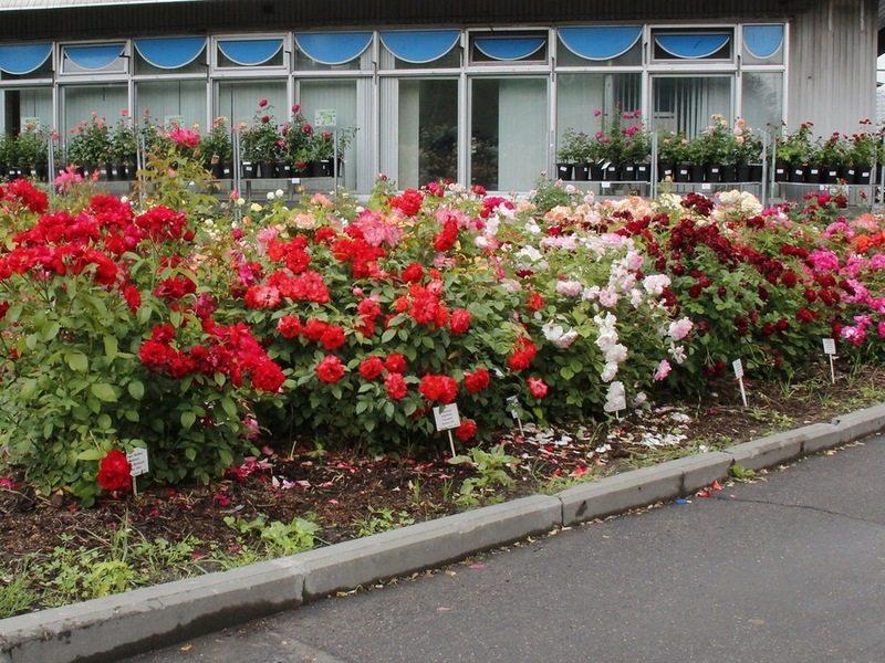 róże kontrastowe