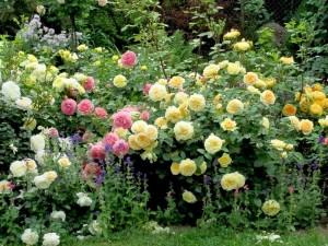 róże rabatowe żółte i różowe