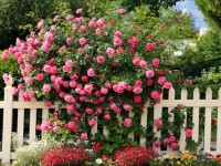 Kształtowanie objętości w ogrodzie krzewami róż