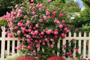 róże pnące w ogrodzie