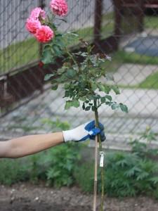 przywiązanie rózy piennej na prosto do palika