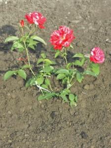 ugniatamy ziemię dookoła róży