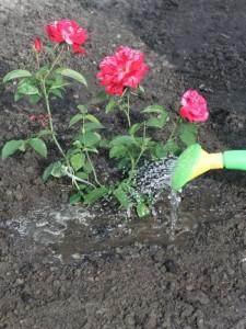 po wsadzeniu róże podlewamy