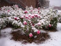 Uszkodzenia róż podczas zimowania