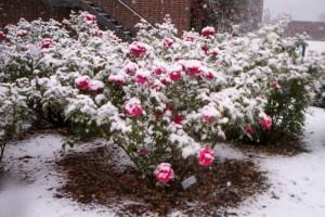 roze zima